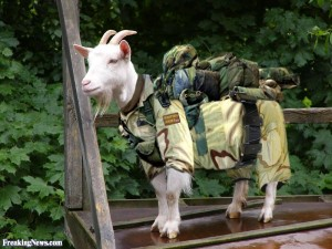 British-Army-Goat--100768